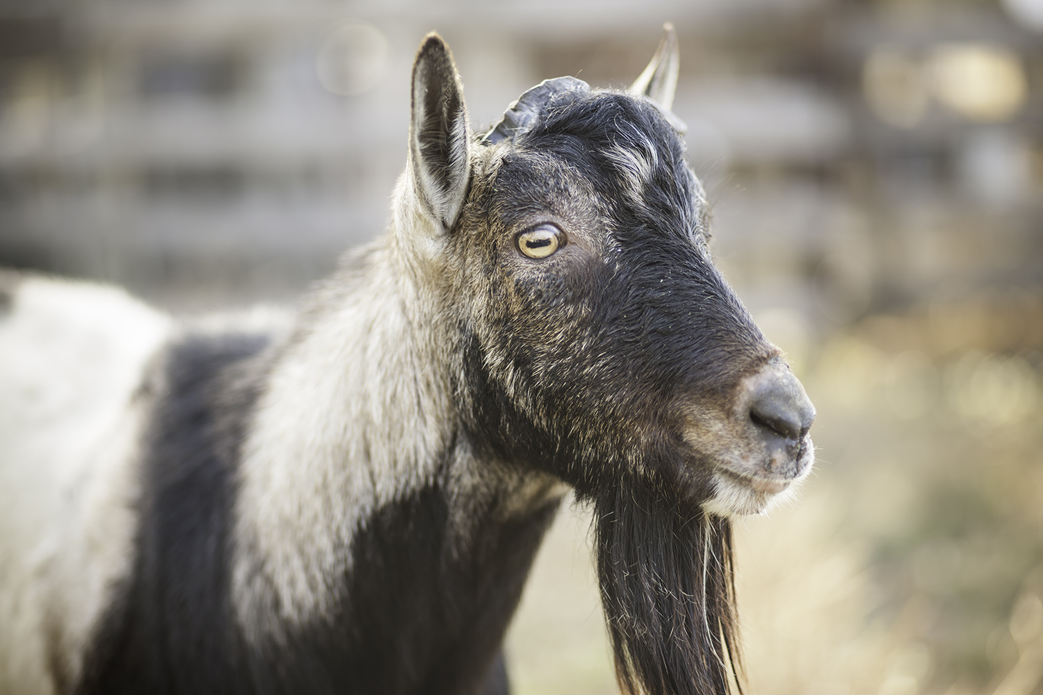 Sergio the Stud: Breeding Alpine Goats at Willow-Witt Ranch