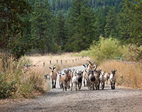 Goats Going Home