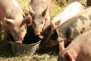 sustainably-raised pastured pork