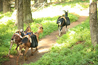 Three pack goats on mountain trail