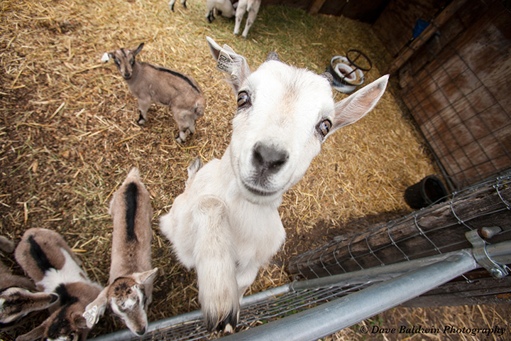 Raising Alpine goats in the high country of Southern Oregon