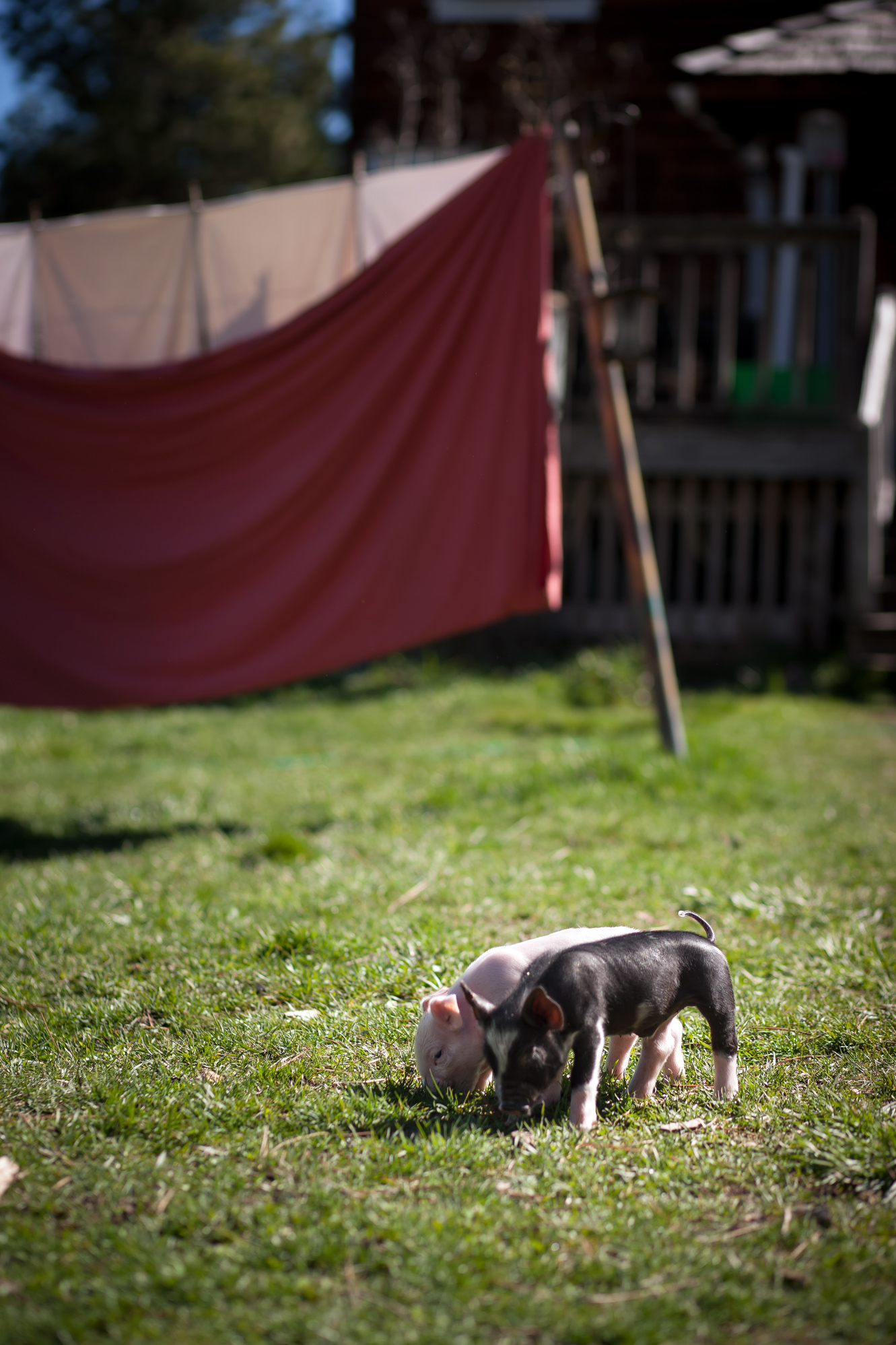 Berkshire Pork: Breeding and Raising Heritage Pigs